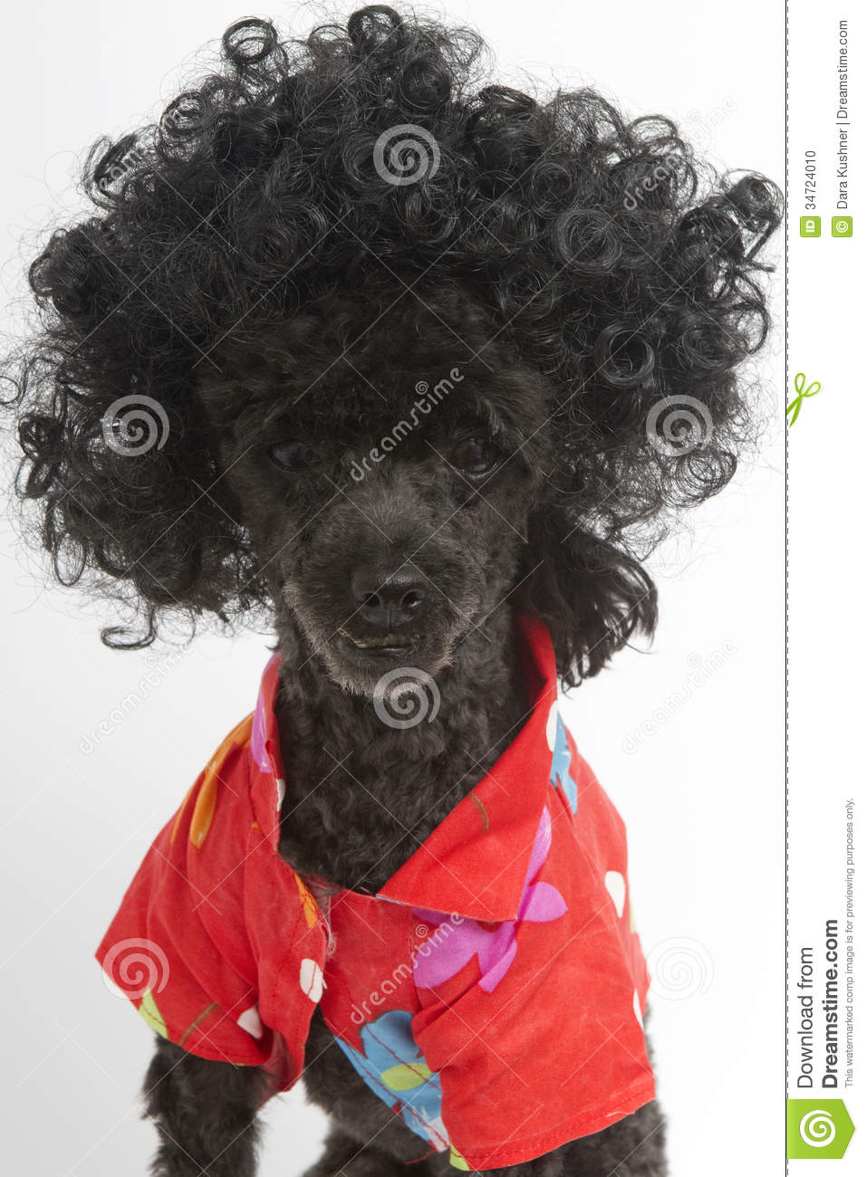 Curly Dog In Hawaiian Shirt Stock Photo Image Of Poodle