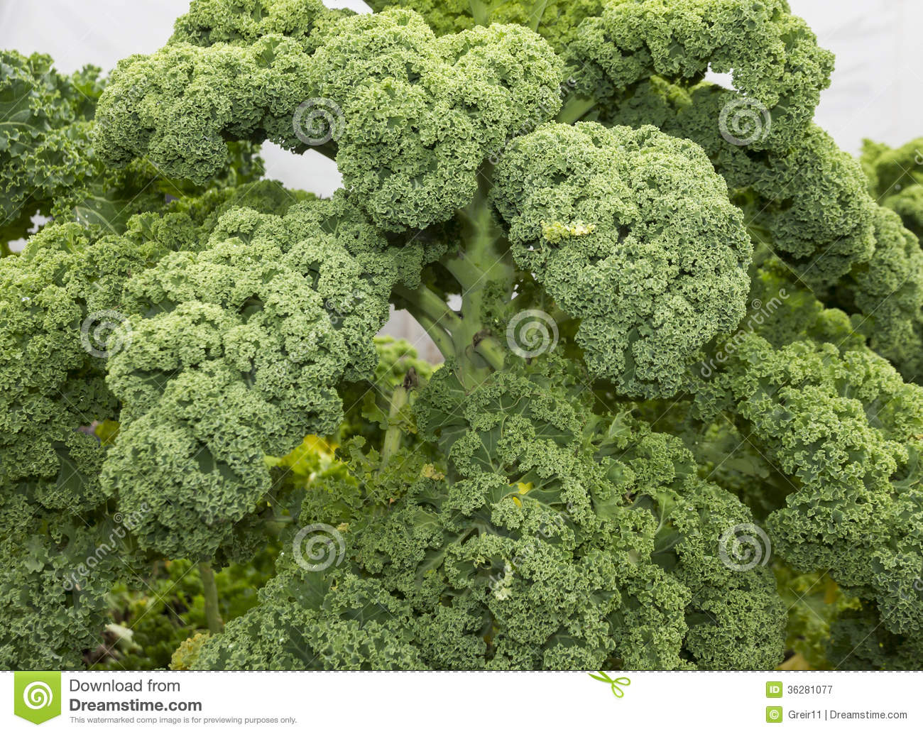 how to grow kale in florida