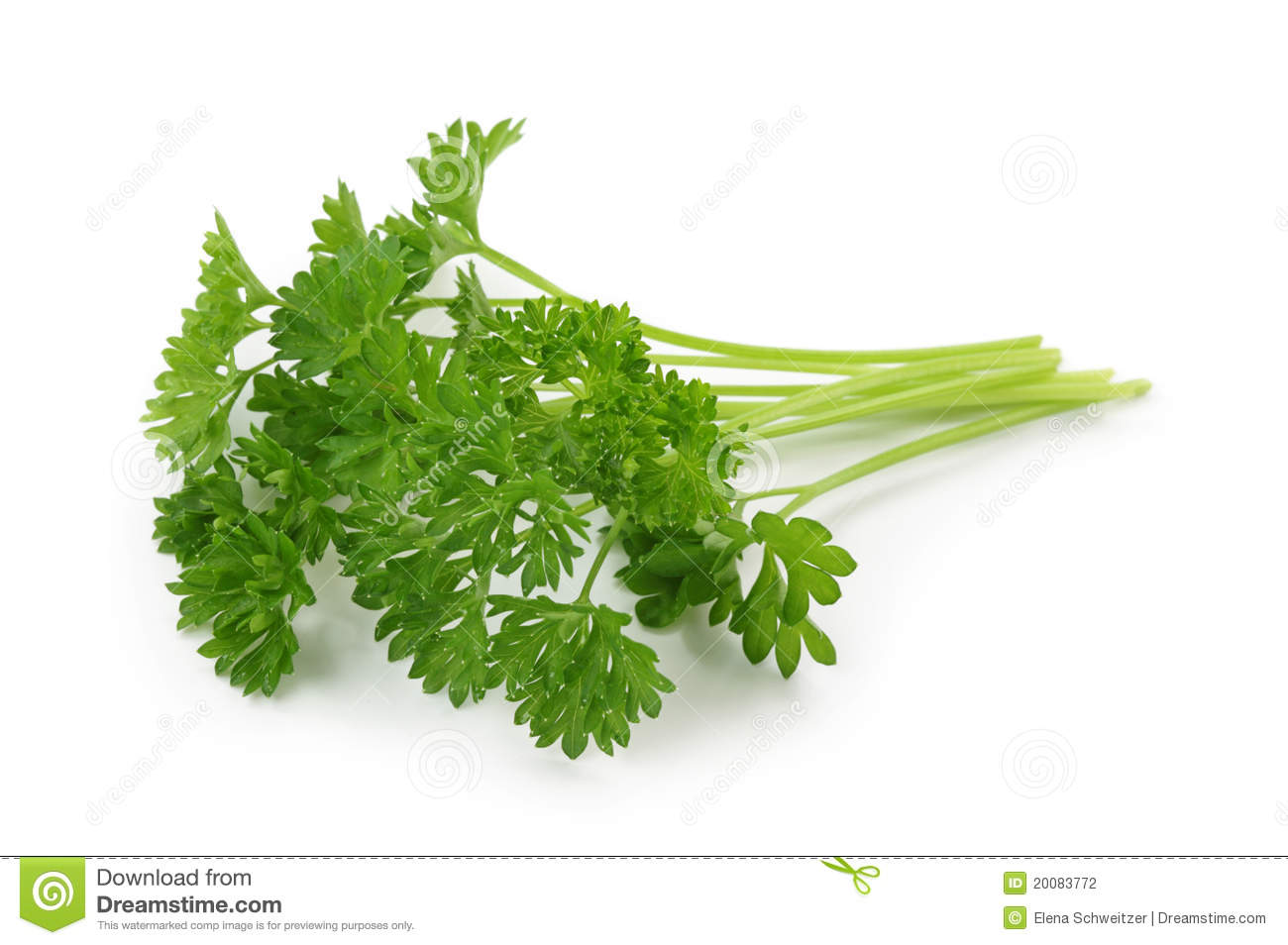 Parsley Illustration Curly leaf parsley Stock
