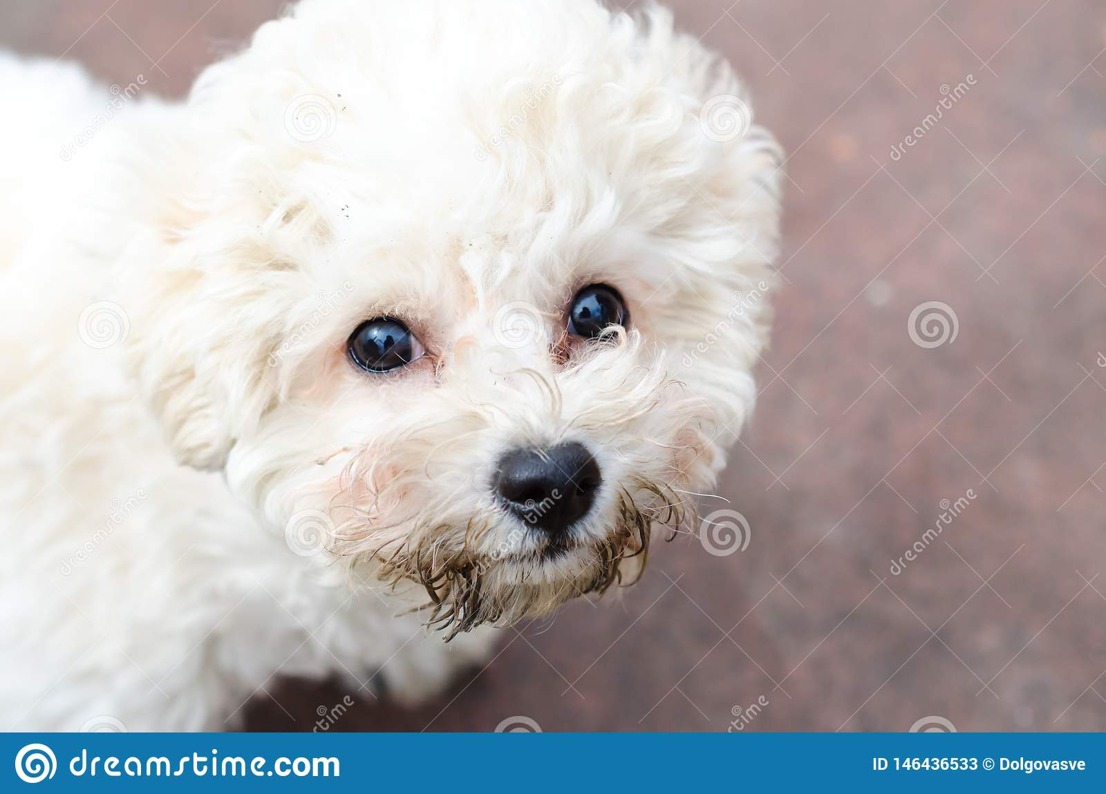 Curly Puppy Of Bichon Frise Stock Image - Image of friend