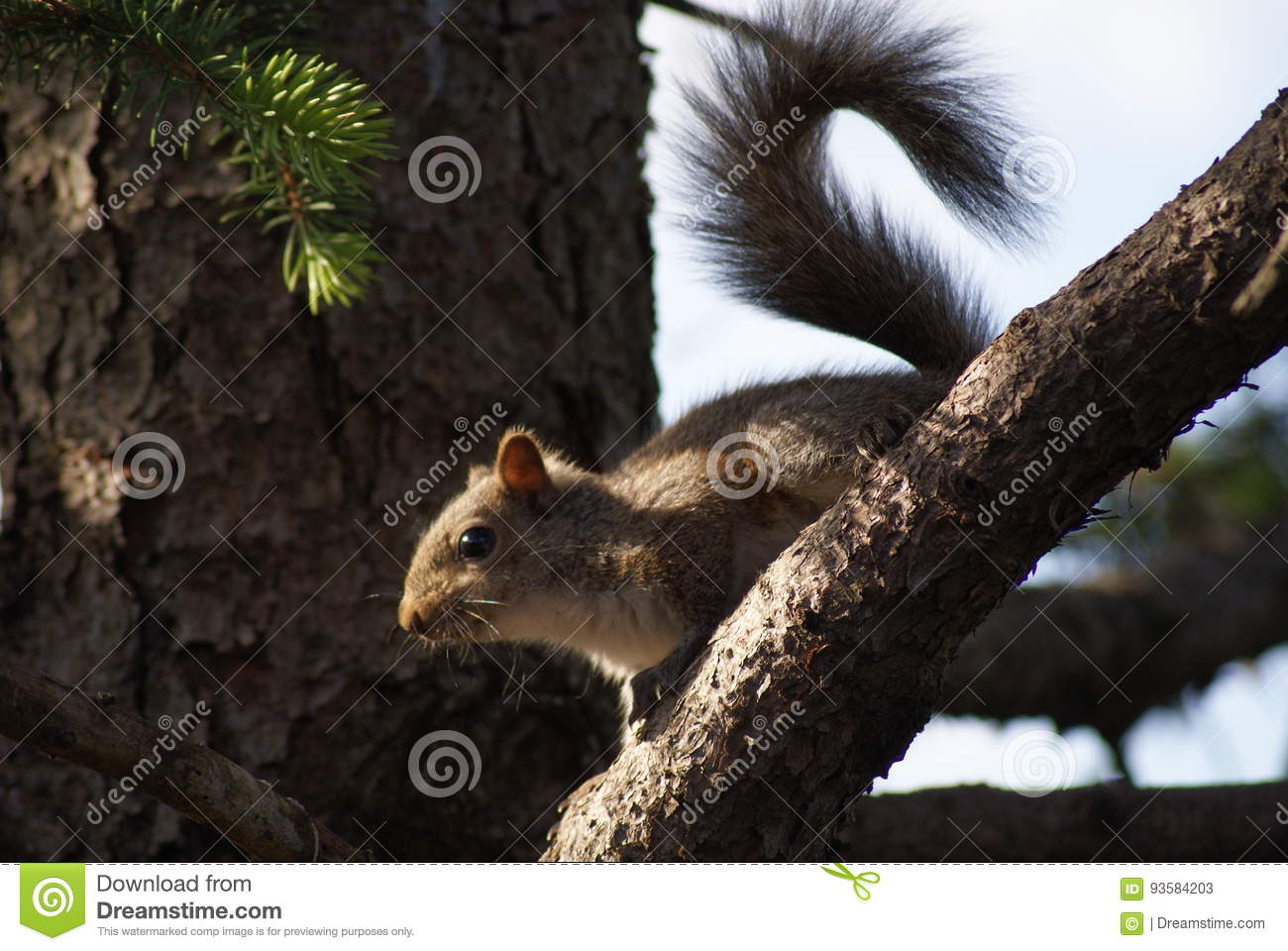 Curly Tailed Squirrel