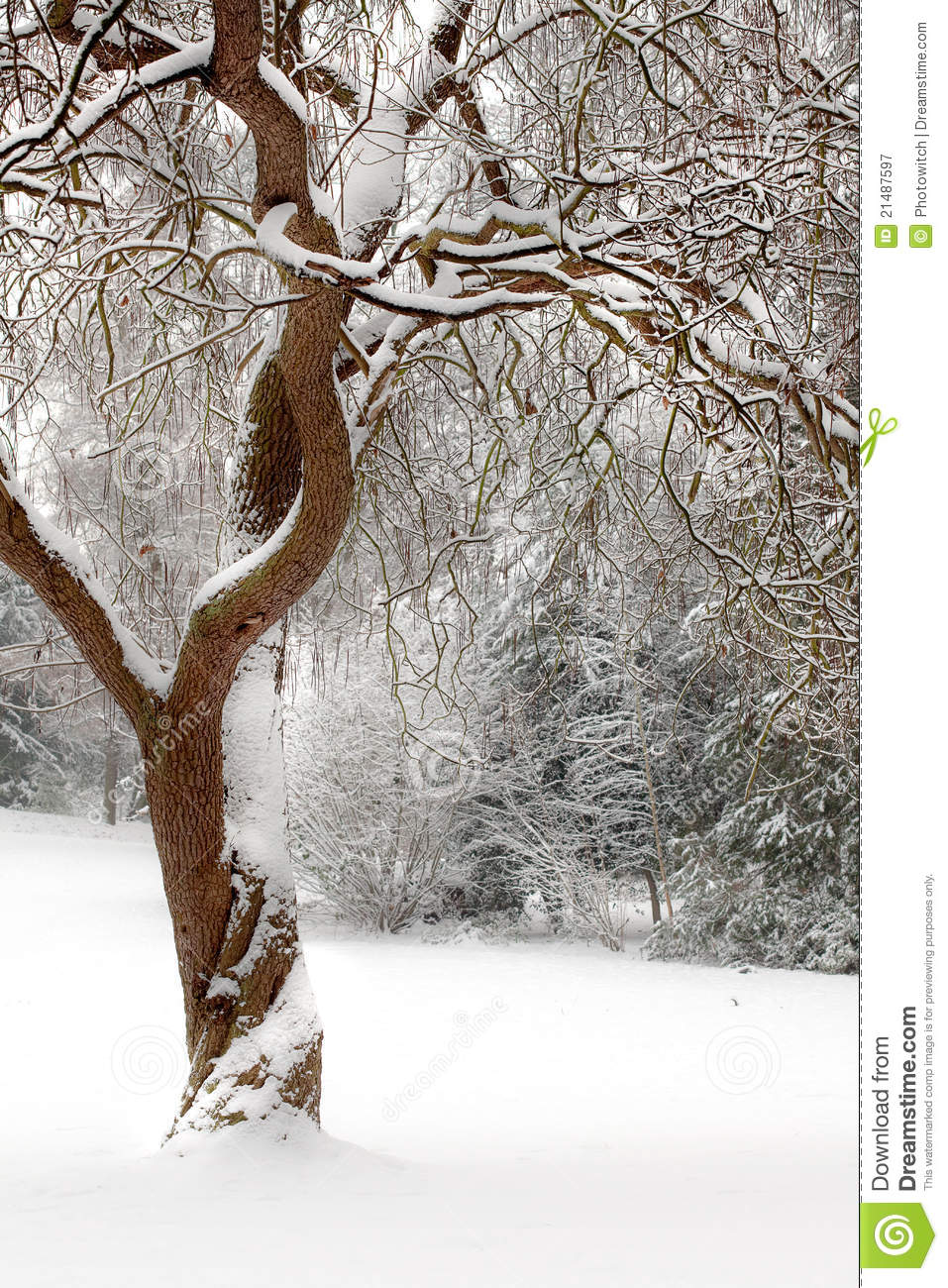 Curly Tree In The Snow Stock Image Image Of Tree