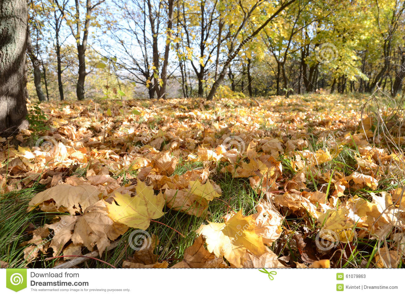 Curly yellow maple leaves on grass in autumn forest, abstract background