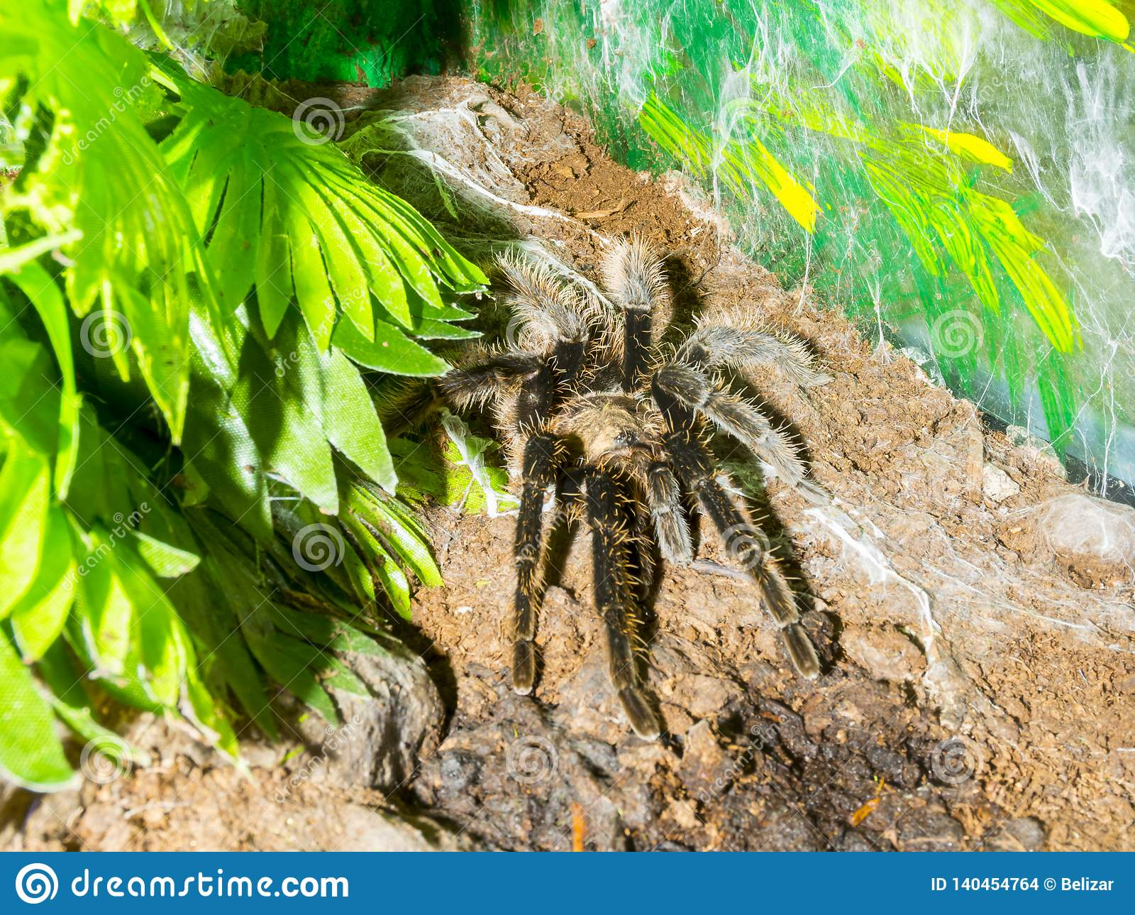 Curlyhair tarantula on the ground