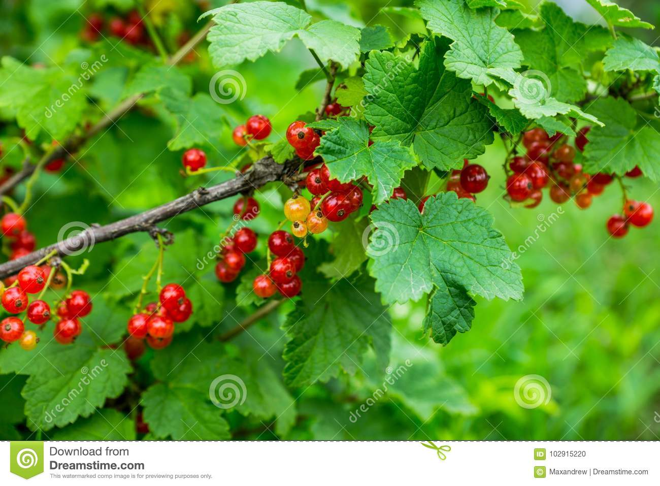 Dream interpretation Currant, what dreams Currant in a dream to see 32