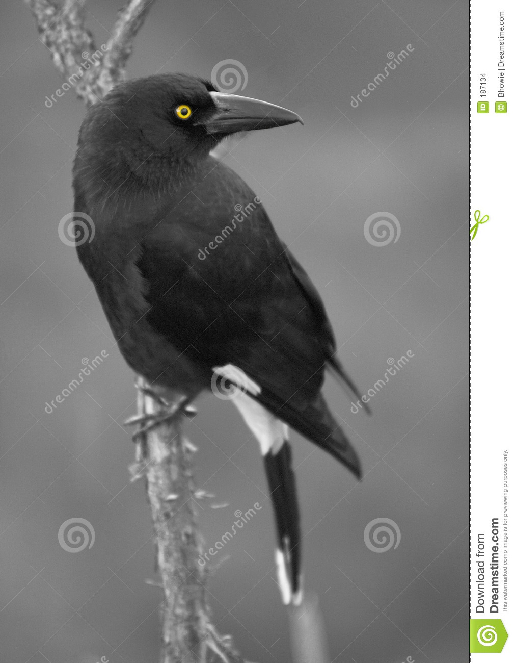Currawong Eyed colore giallo
