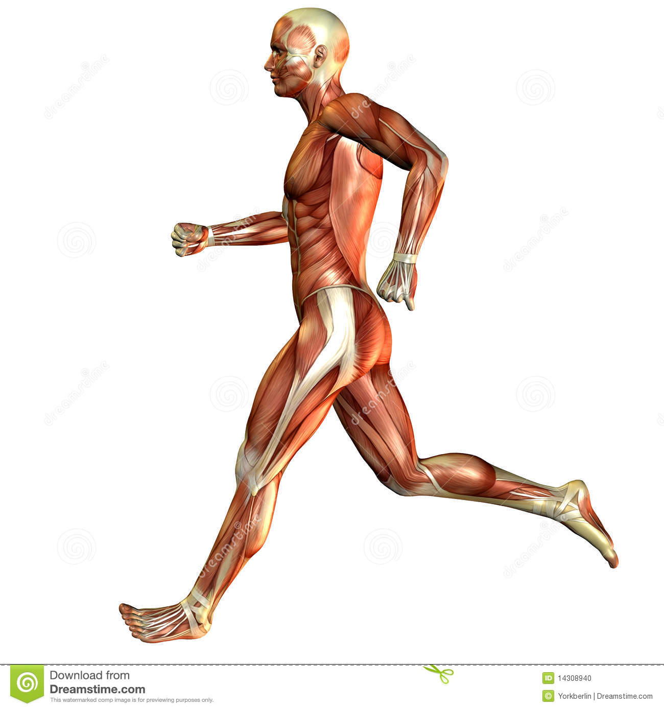 current study, muscle man stock photo - image: 14308940, Muscles
