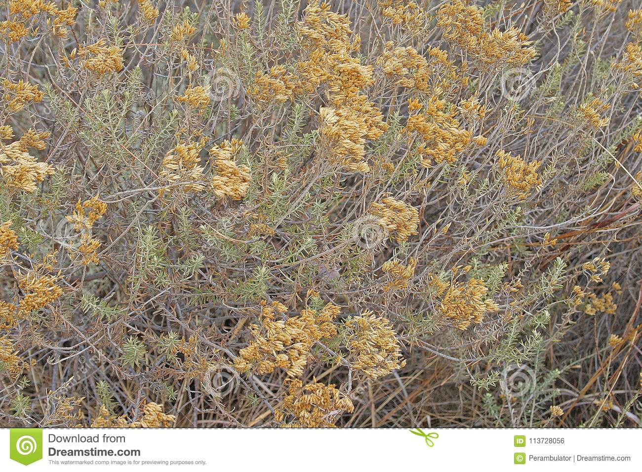 Curry bush with small yellow flowers and long thin green leaves download curry bush with small yellow flowers and long thin green leaves stock photo image mightylinksfo