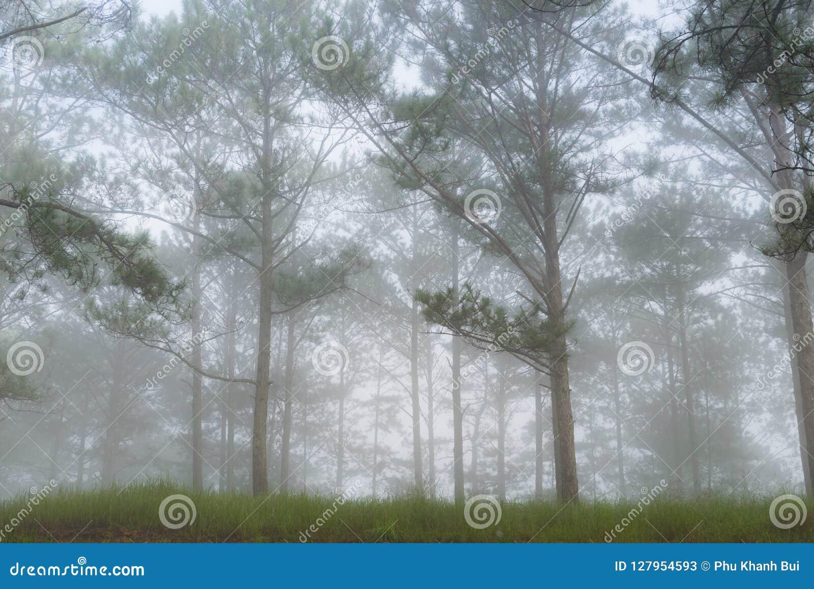 Curso na floresta do pinho da fuga, Vietnam da descoberta Fundo com raios de sol mágicos, luz, névoa densa e parte 8 do ar fresco