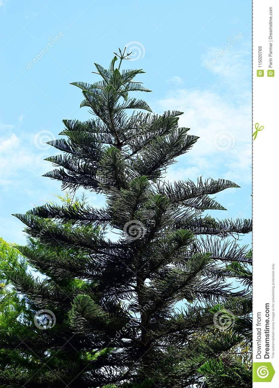 Christmas Tree In India.Curved Attractive Cook Pine Conifer Tree Araucaria