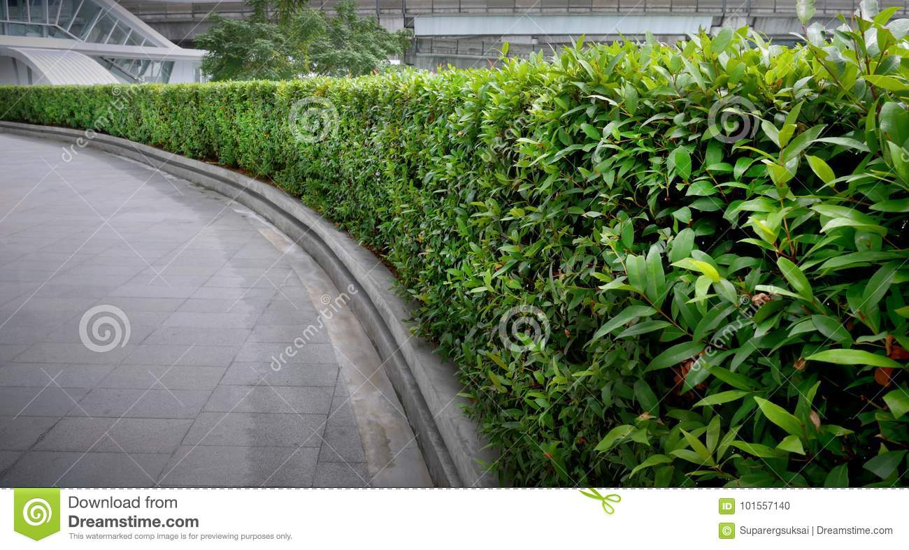 curved bush fence along the walkway stock photo image of curve