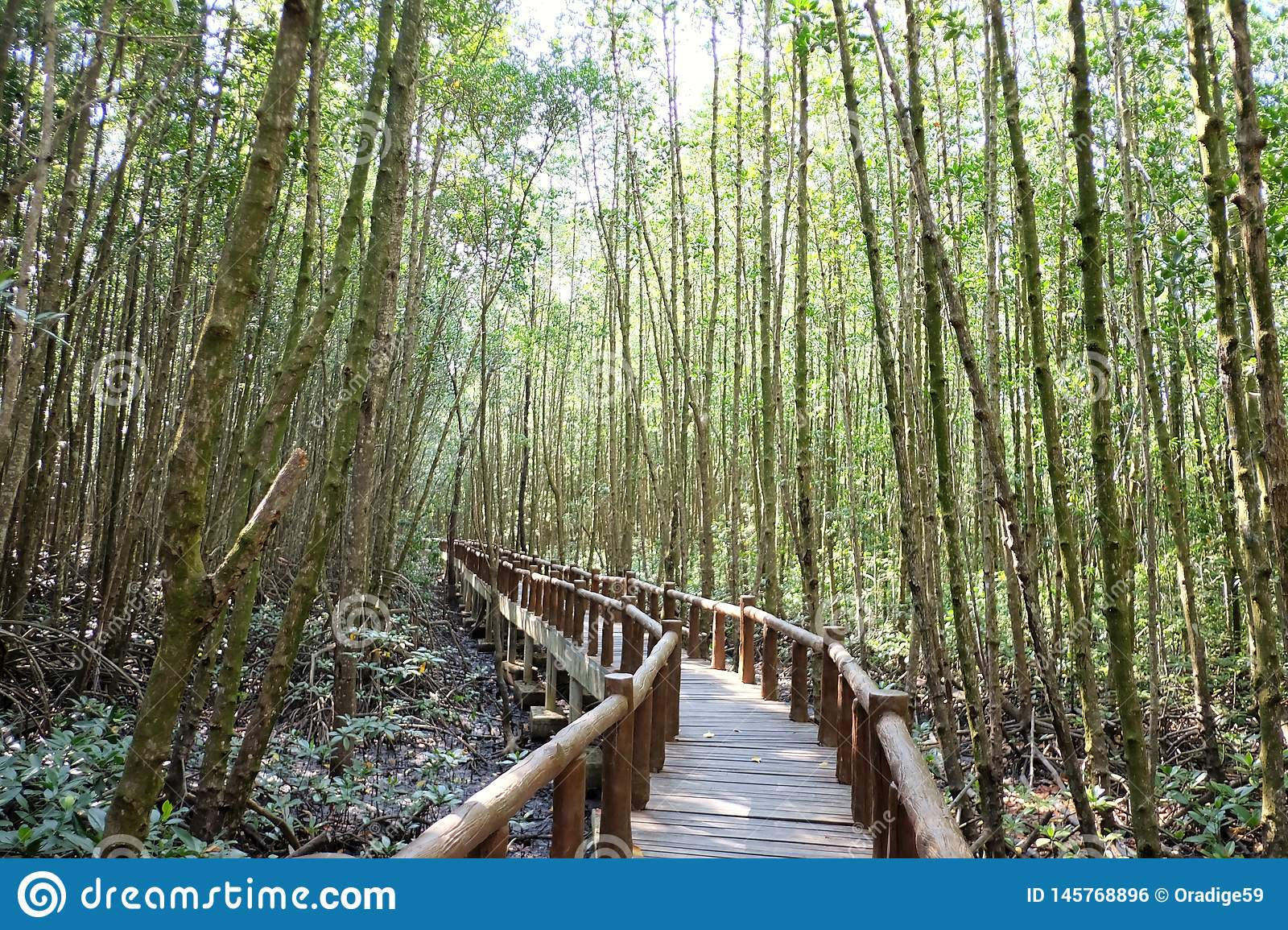 A curved wooden bridge into the mangrove forest with sun light
