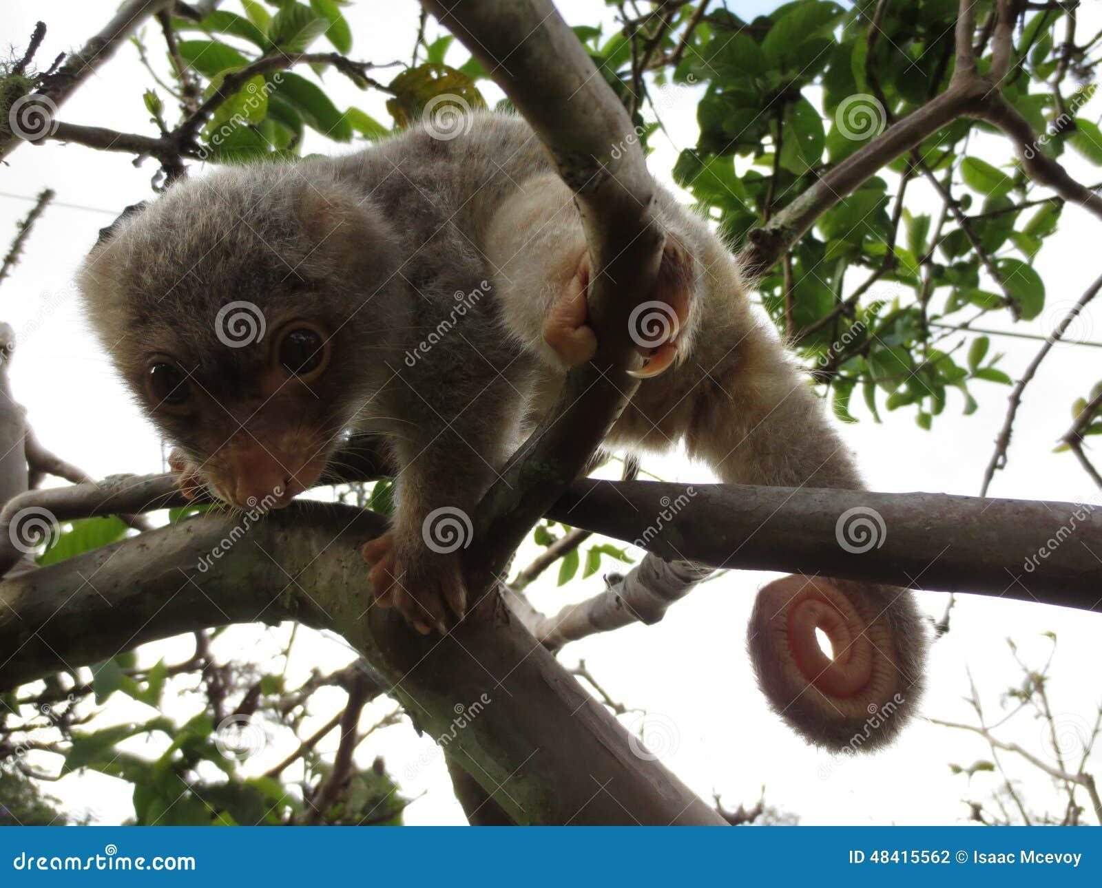 Cuscus repéré par mâle de bébé
