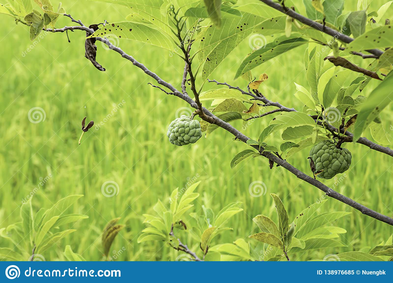 Custard apple on a tree The background in paddy fields.  royalty free stock photo