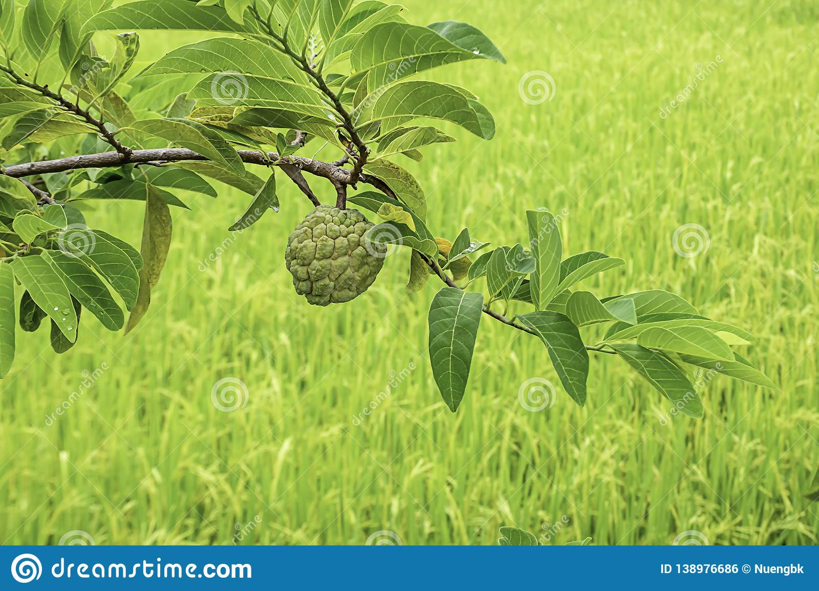 Custard apple on a tree The background in paddy fields.  royalty free stock image