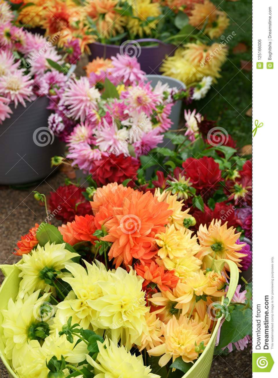 Cut Dahlia Flowers Of Different Varieties In Buckets Stock Photo