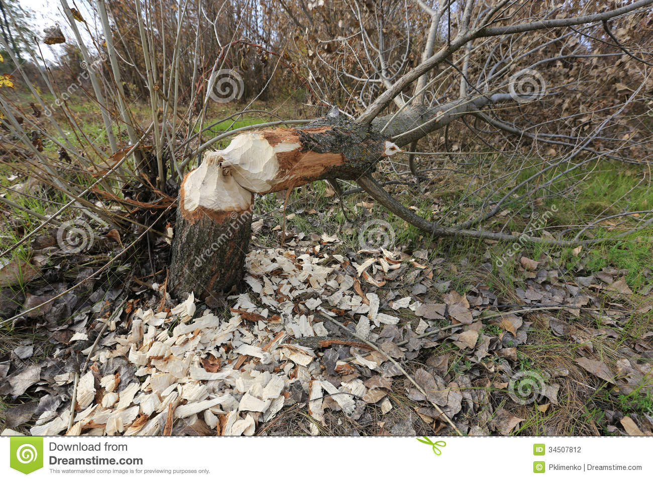 Cut Down Tree Stock Photography Image 34507812