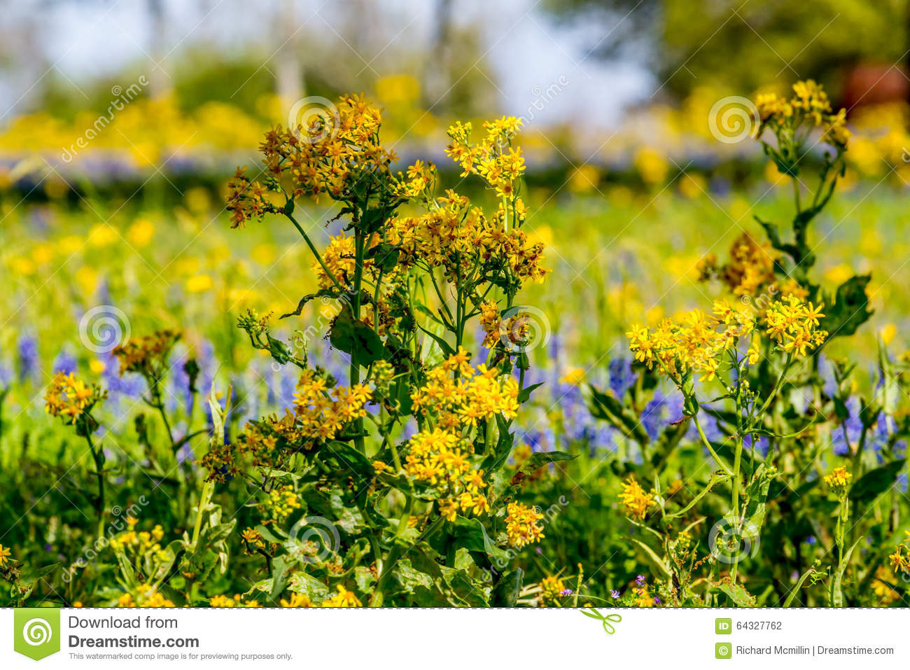 Cut Leaf Groundsel Bright Yellow Texas Wildflower Stock Photo