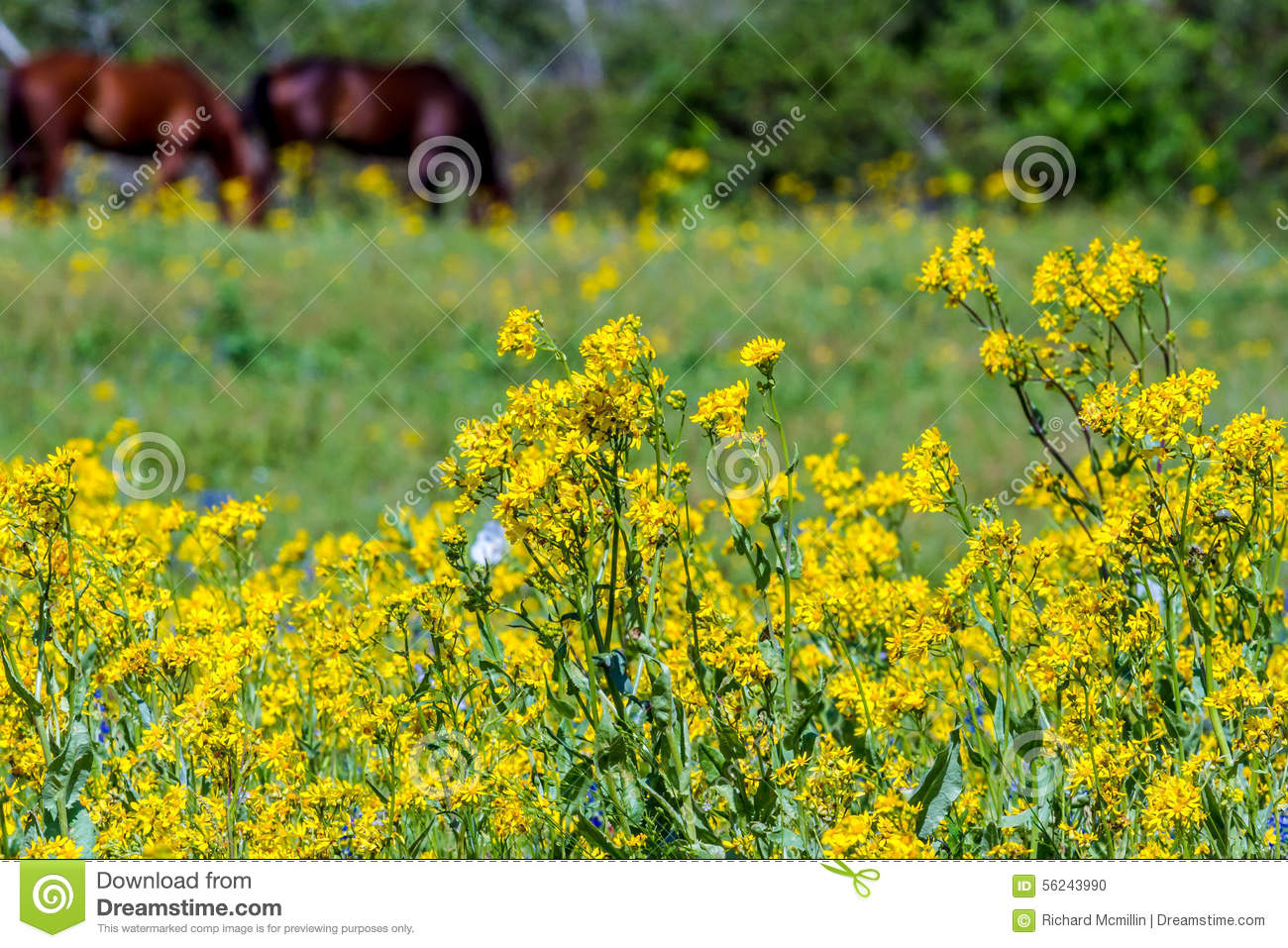 Cut Leaf Groundsel Bright Yellow Texas Wildflowers With Horses Stock