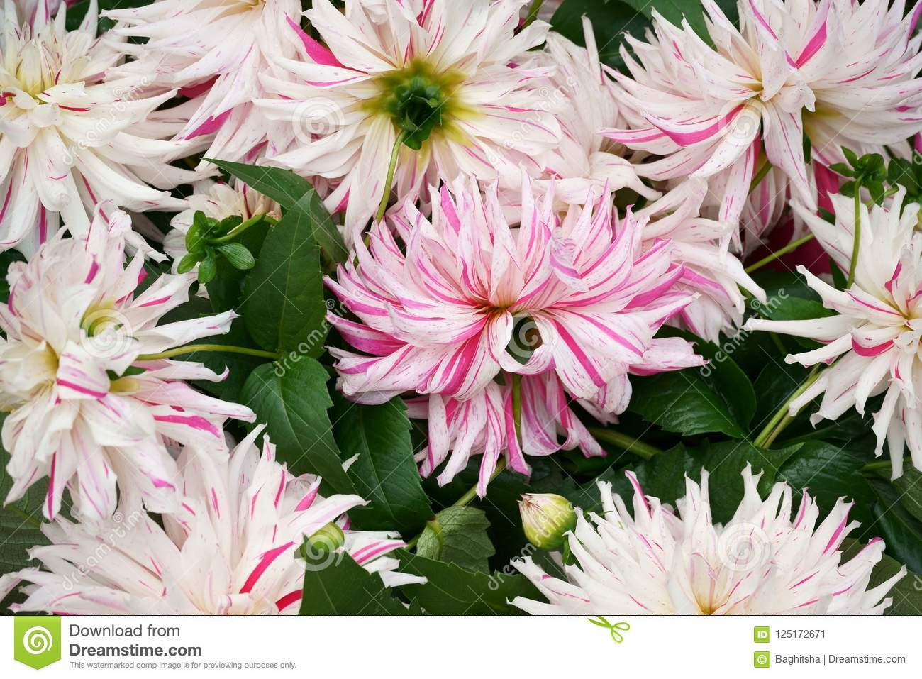Cut Semi Cactus Dahlias For Sale In A Jumble Stock Image Image Of