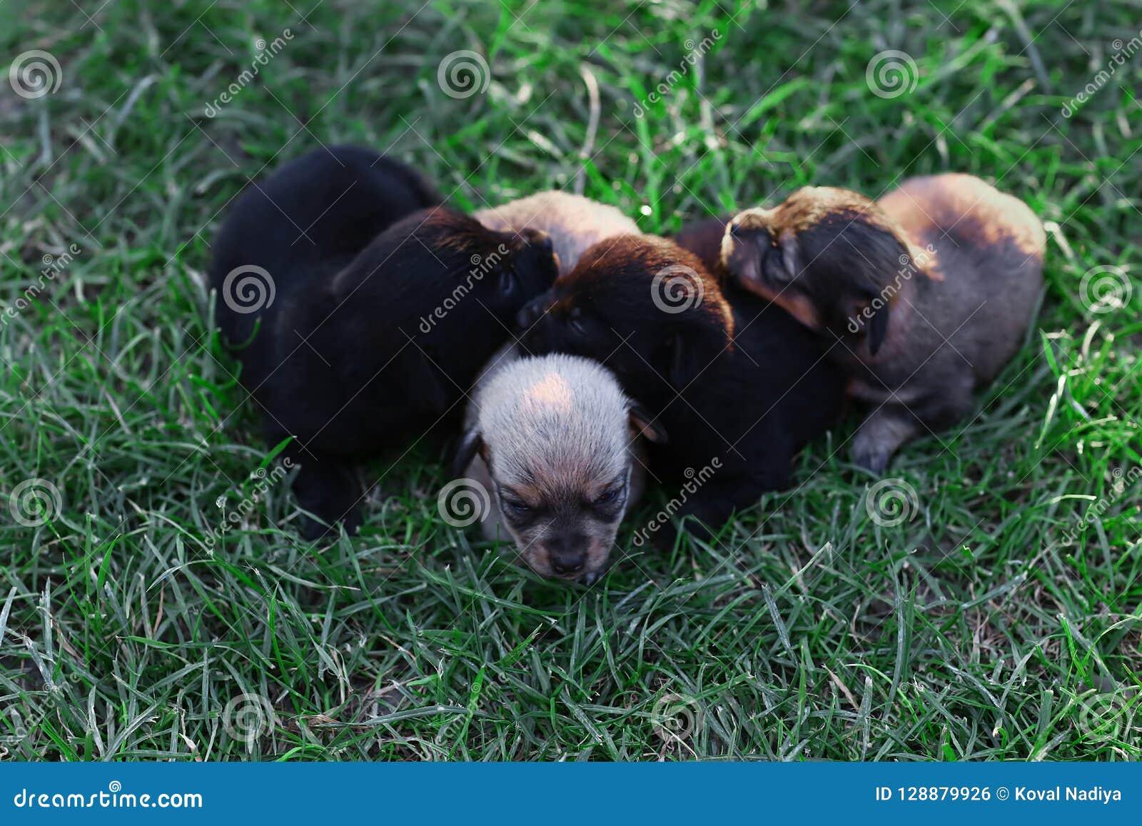 Cut sleeping four newborns puppies on green grass