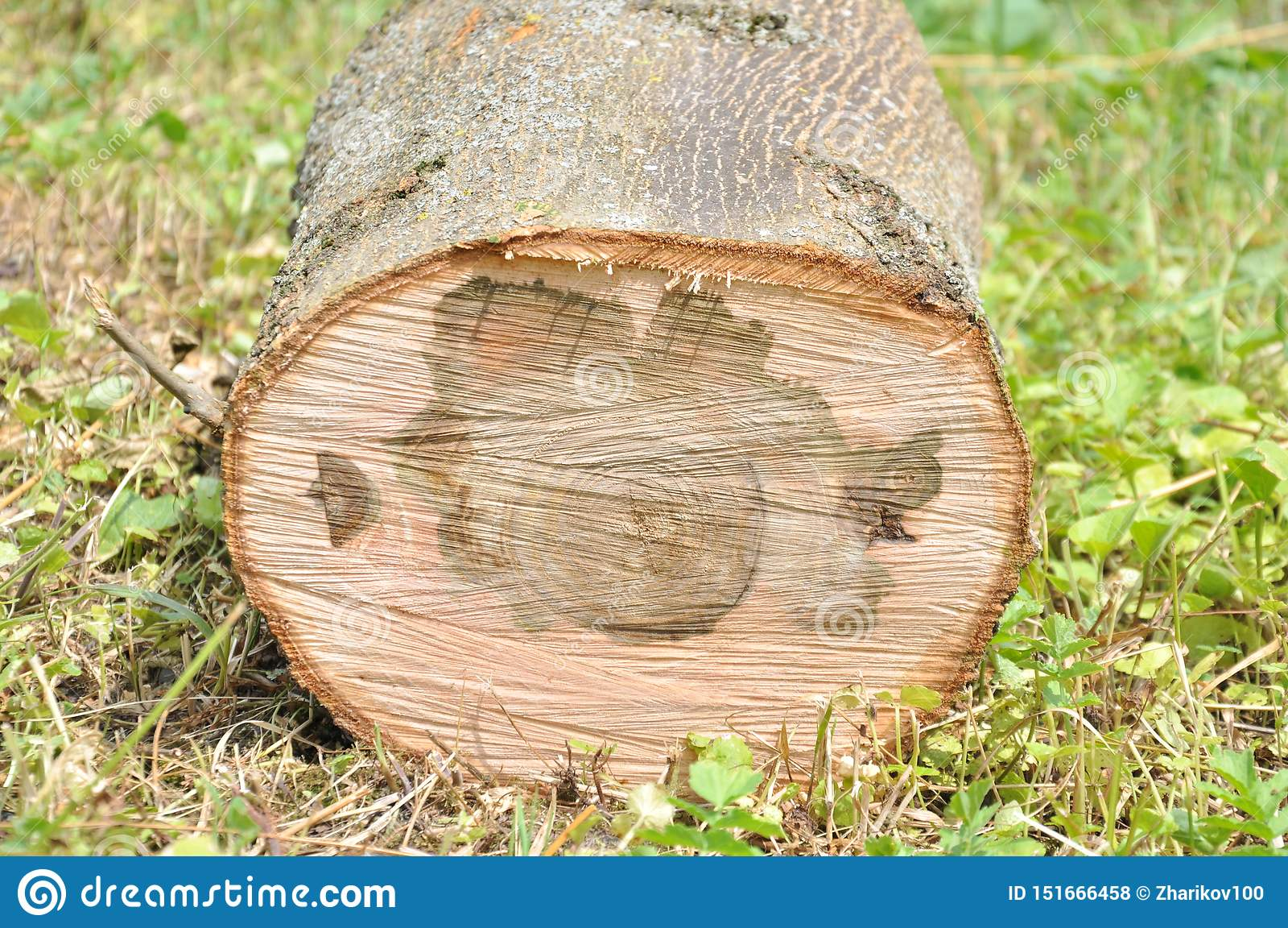 Cut thick tree trunk. Wood texture.