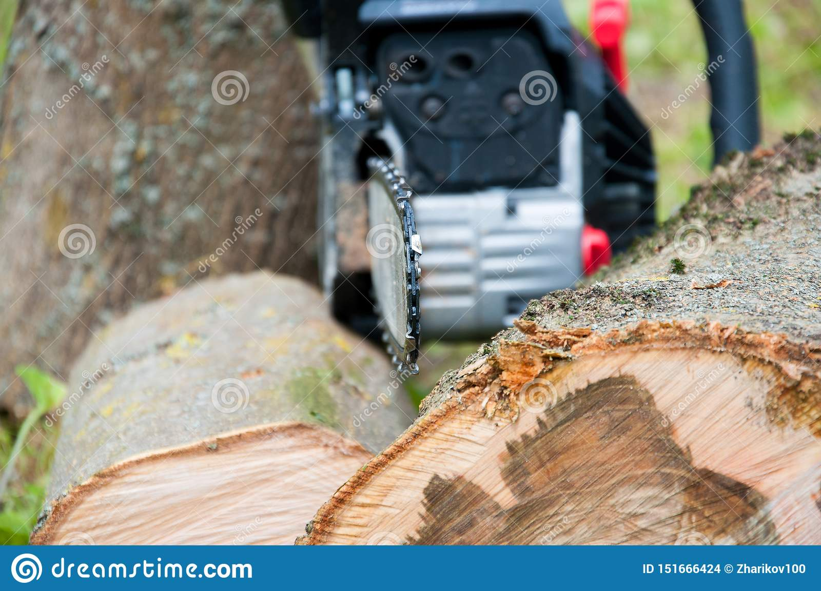 Cut thick tree trunk. Wood texture. Chainsaw cuts wood.
