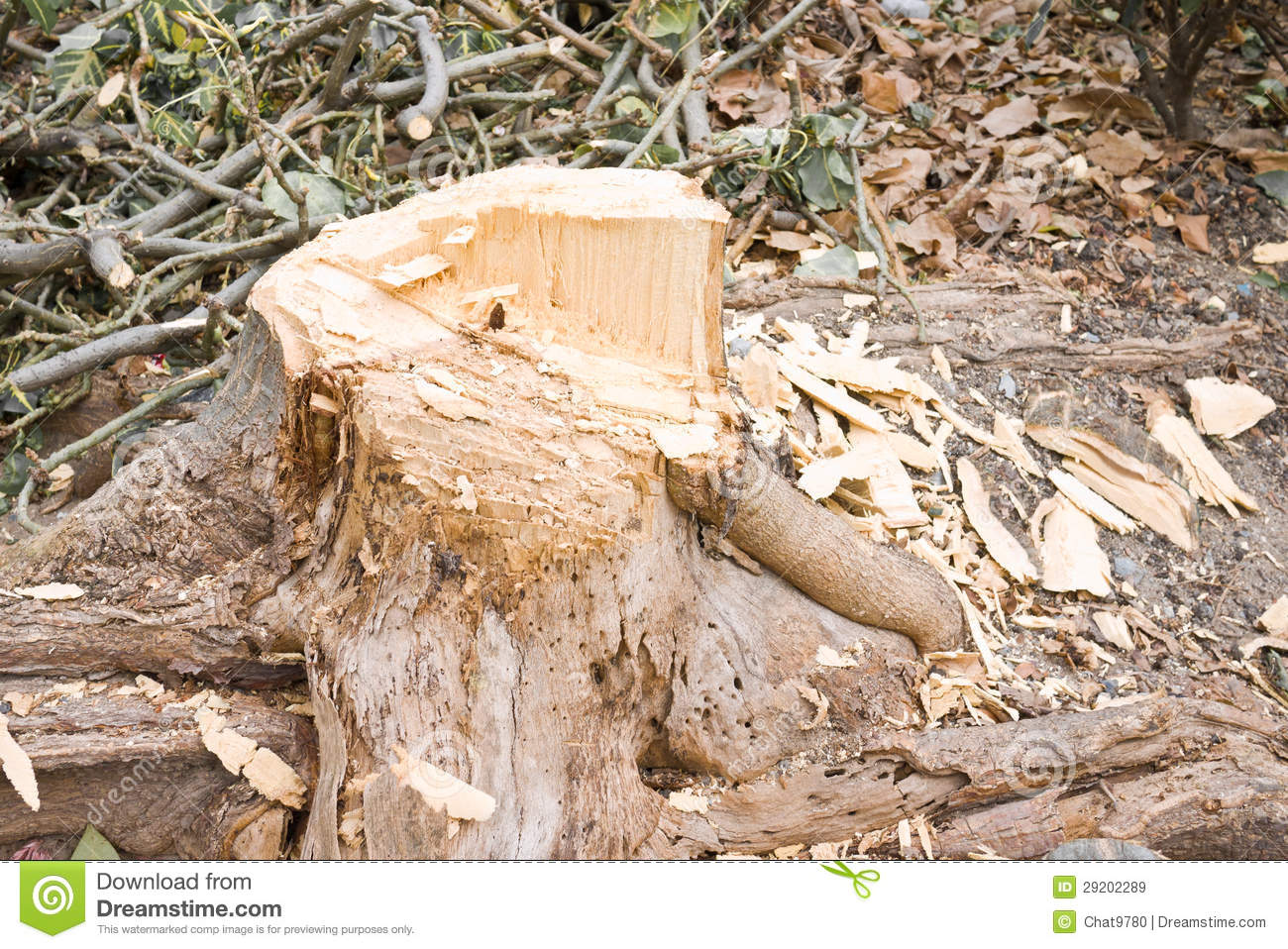 Fotos De Stock Chat9780: Cut Tree Royalty Free Stock Images