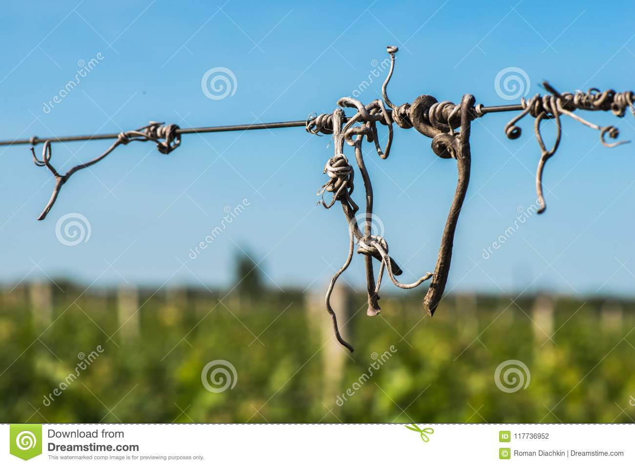 Cut Vines Crook On The Guide Wire In The Vineyard Stock Photo ...