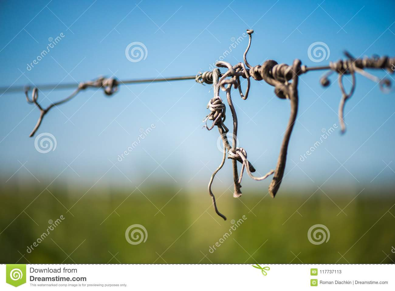 Cut Vines Crook On The Guide Wire In The Vineyard Stock Image ...