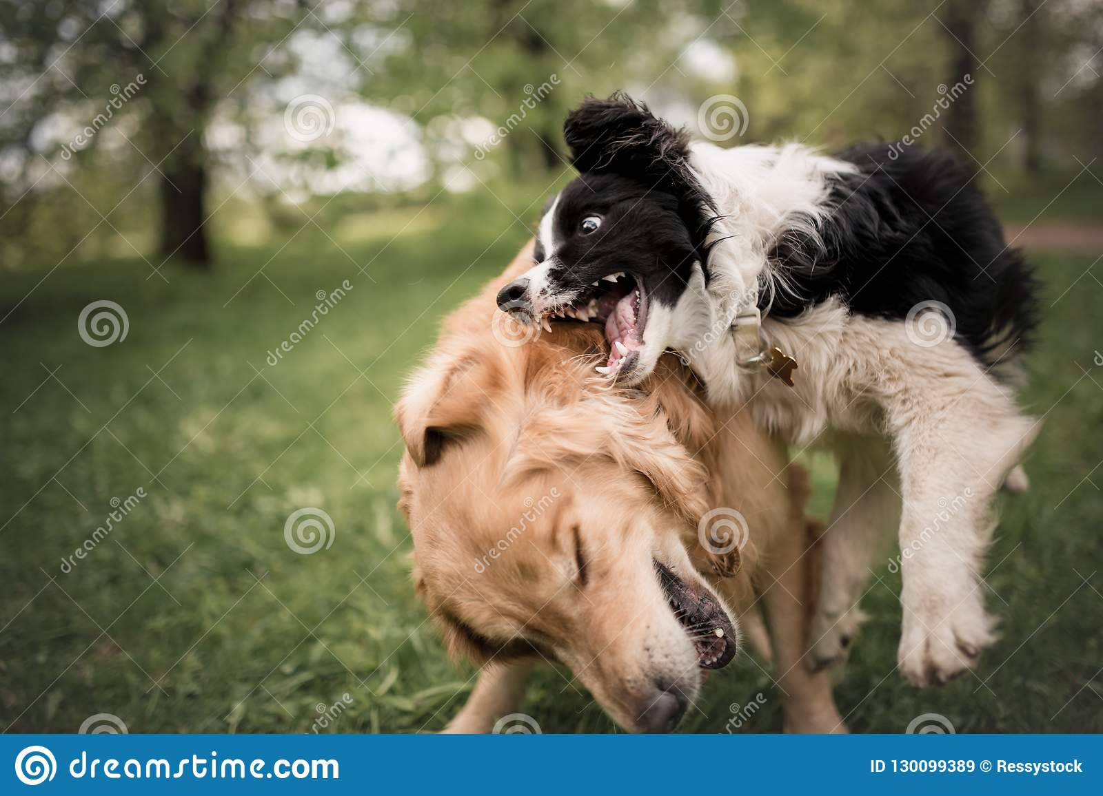 cute adorable black and white border collie and golden retriever