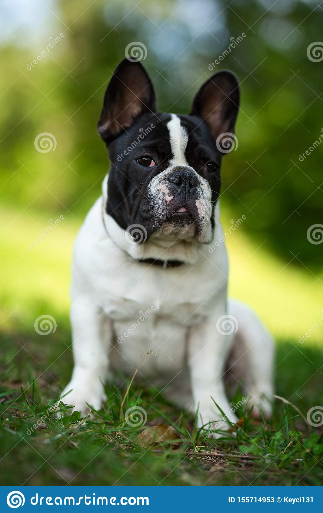 Cute Adorable Black And White French Bulldog Puppy In The Grass Stock Image Image Of Female Flowers 155714953