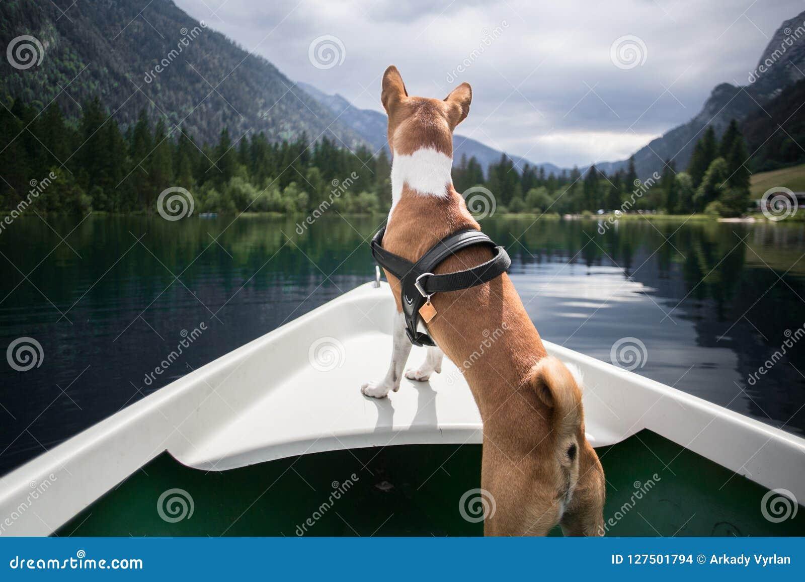 Basenji dog sits on boat at alpine lake