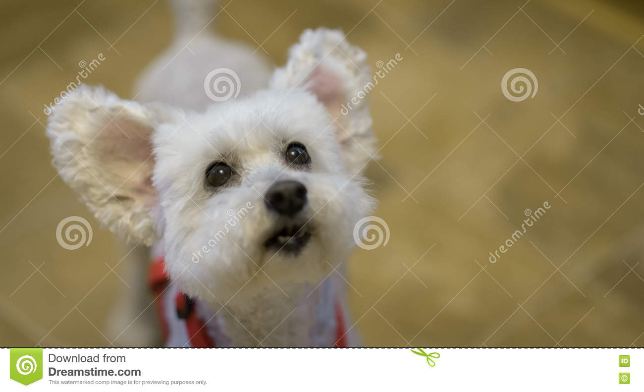 Cute and adorable white poodle dog with ears up. Focus on eyes
