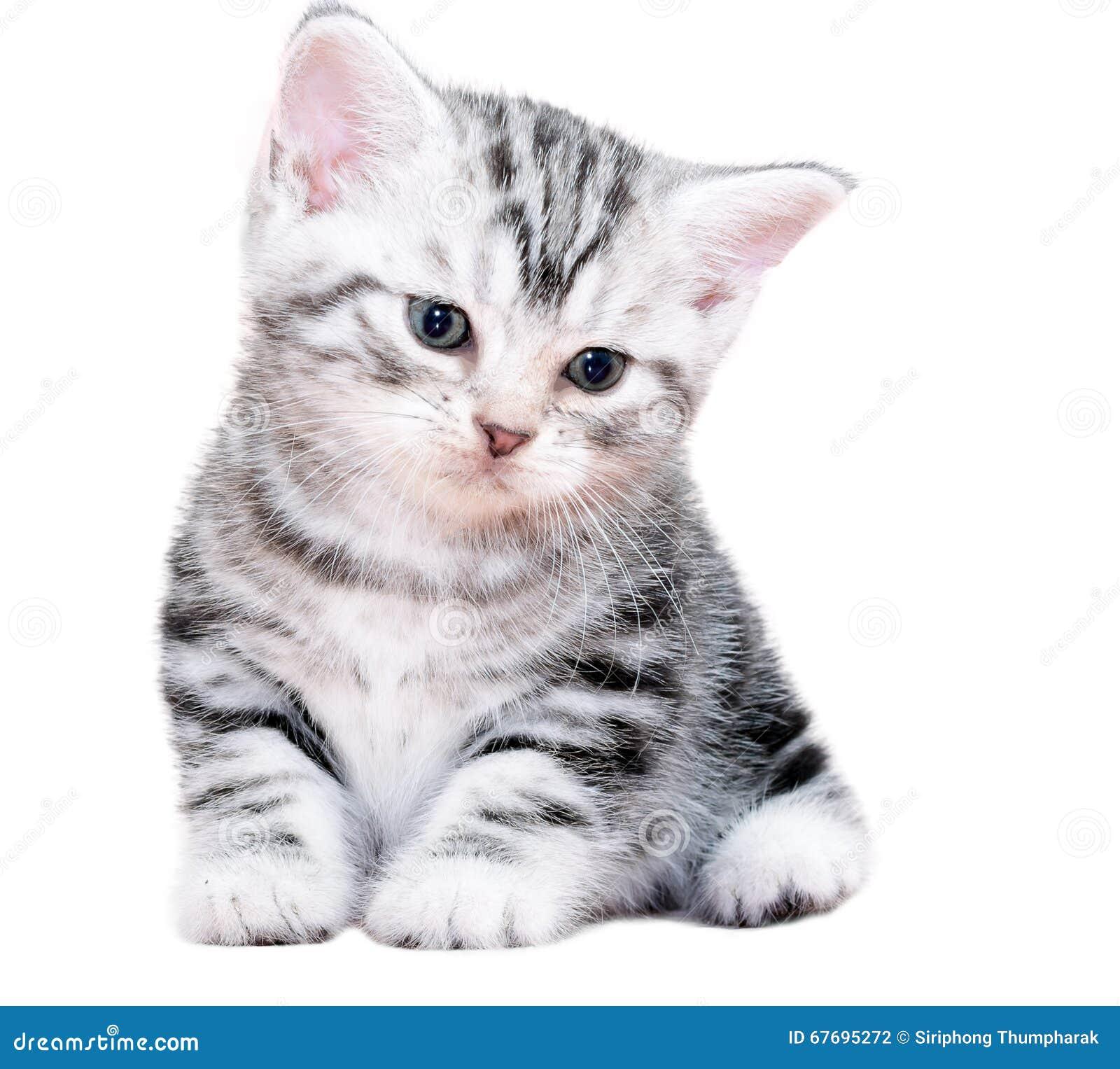 Cute American Shorthair Cat Kitten Stock Image