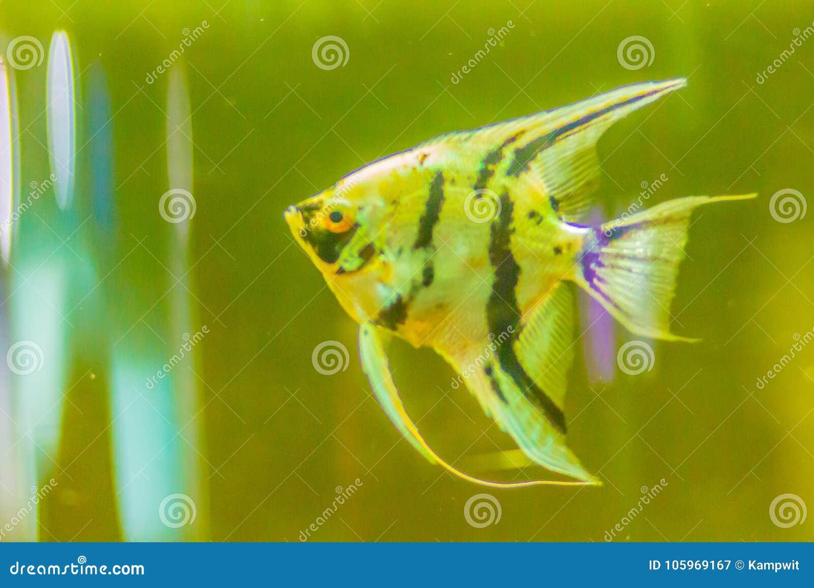 Cute angelfish (Pterophyllum) fish, a small genus of freshwater