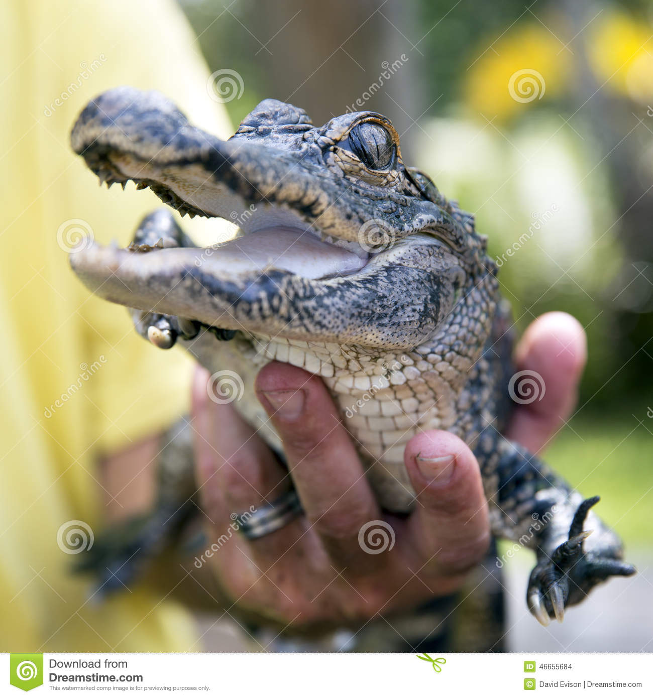 Cute Baby Alligator Stock Photo Image Of Coldblooded 46655684