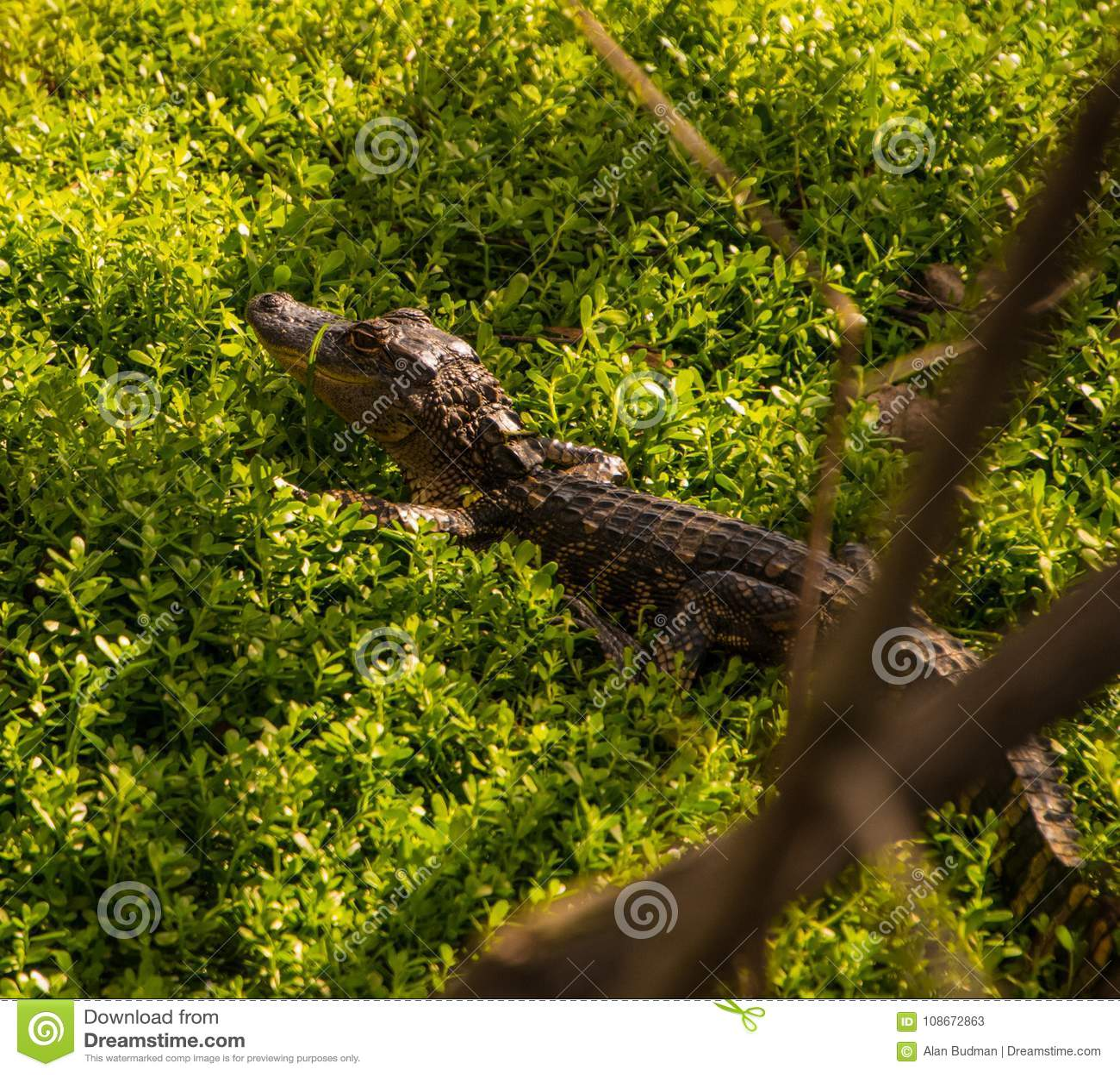 Cute Baby Alligator In Undergrowth Stock Image Image Of Crocodile