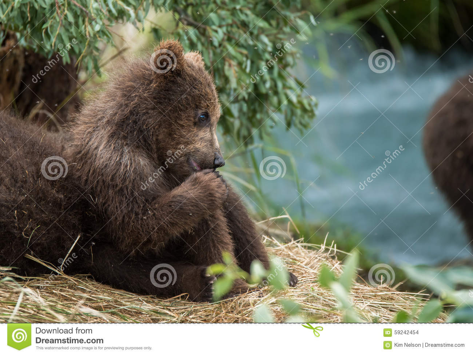 Cute Baby Bear Keeping An Eye On Mom Stock Photo - Image ...