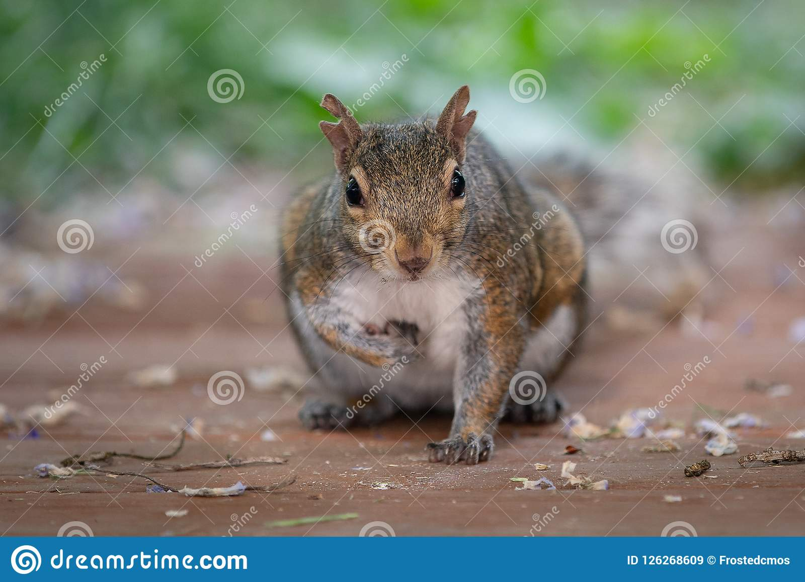 Cute baby brown squirrel on the wooden deck