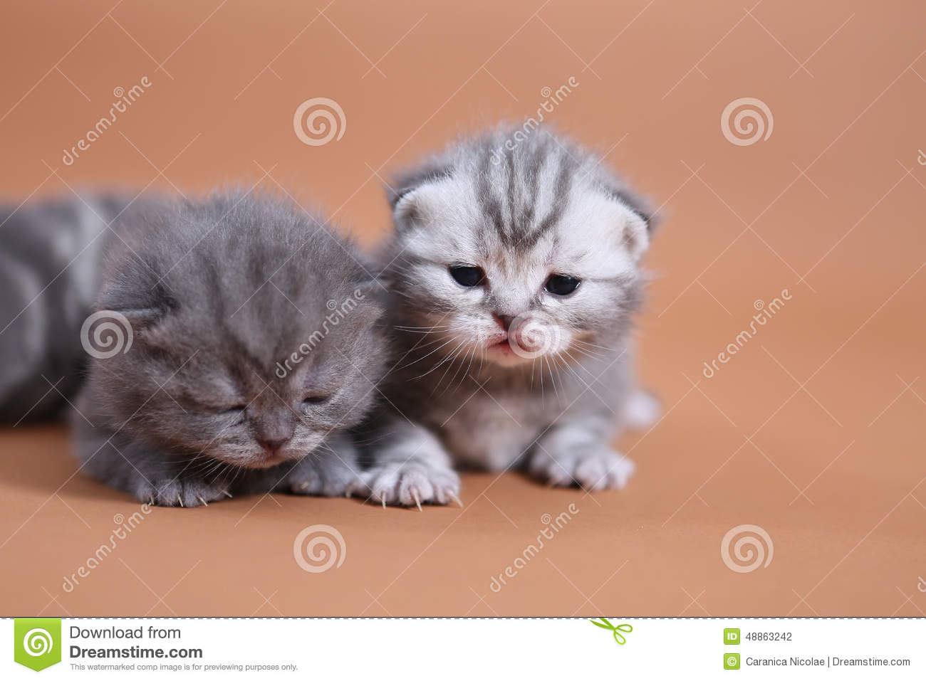 Cute Baby Cats Stock Photo Image Of Exploring Pets 48863242