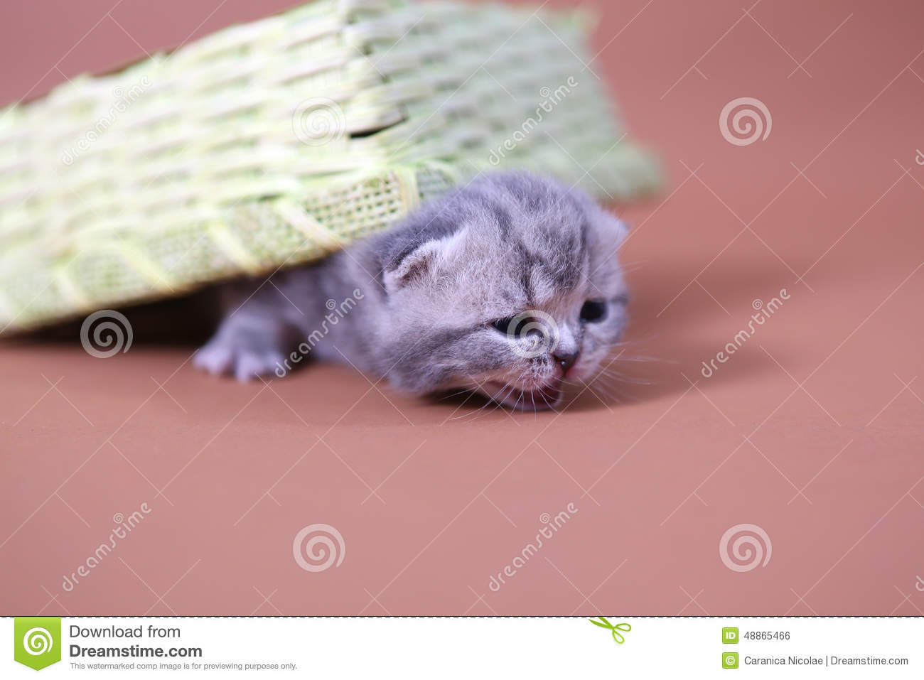 Cute Baby Cats Stock Photo Image Of Kittens Pedigree 48865466