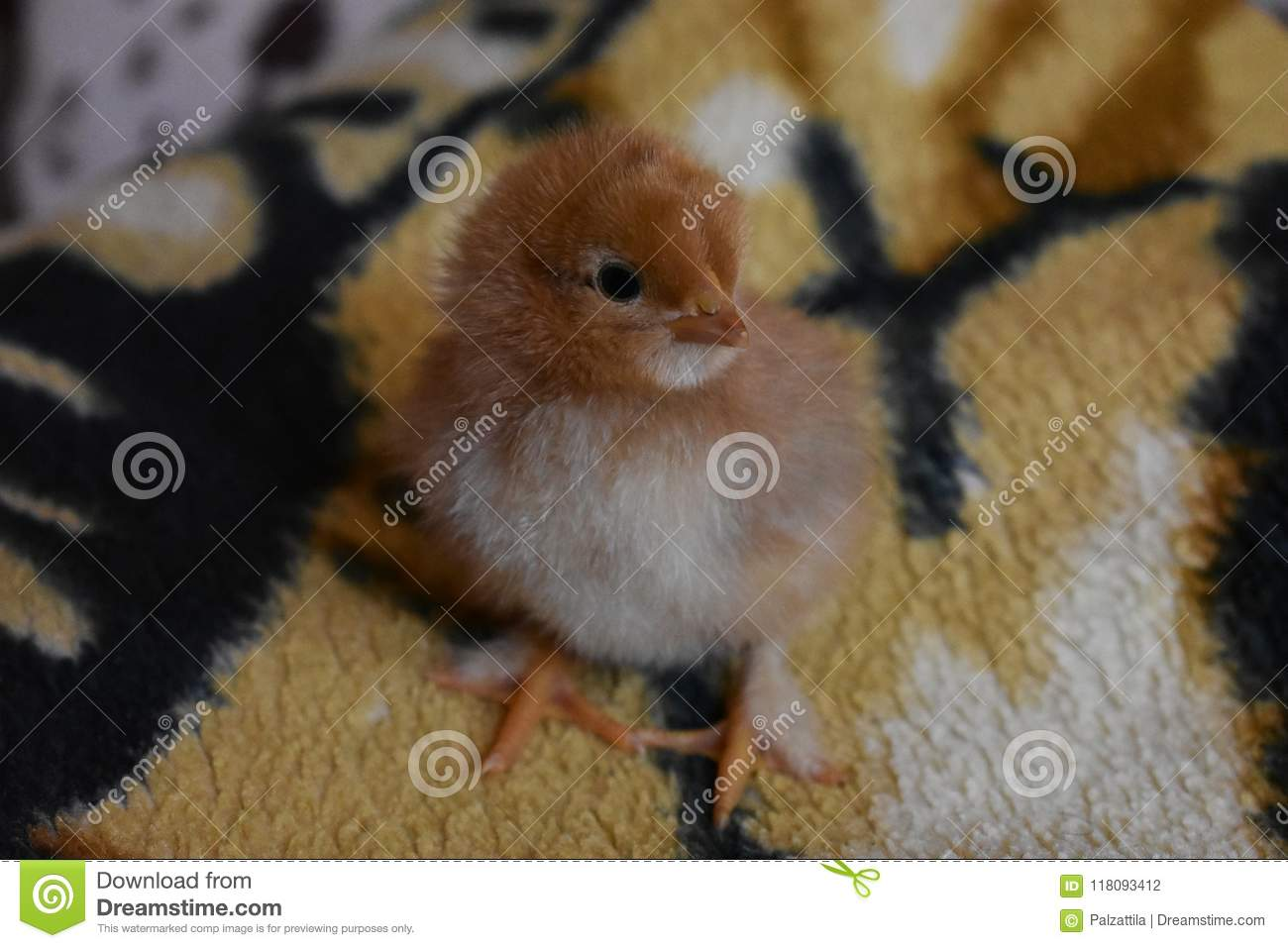 One Day Old Chicken Stock Photo Image Of Baby Chicken