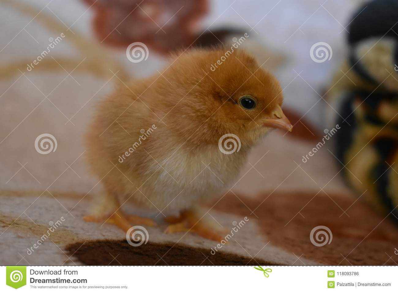 One Day Old Chicken Stock Photo Image Of Baby Cute 118093786