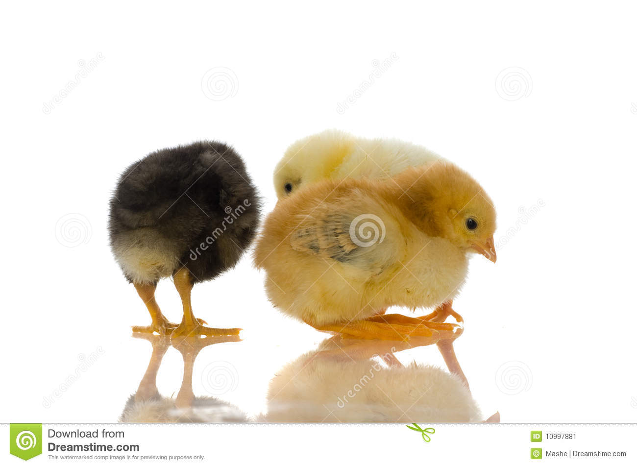 Cute Baby Chicks Stock Image - Image: 10997881