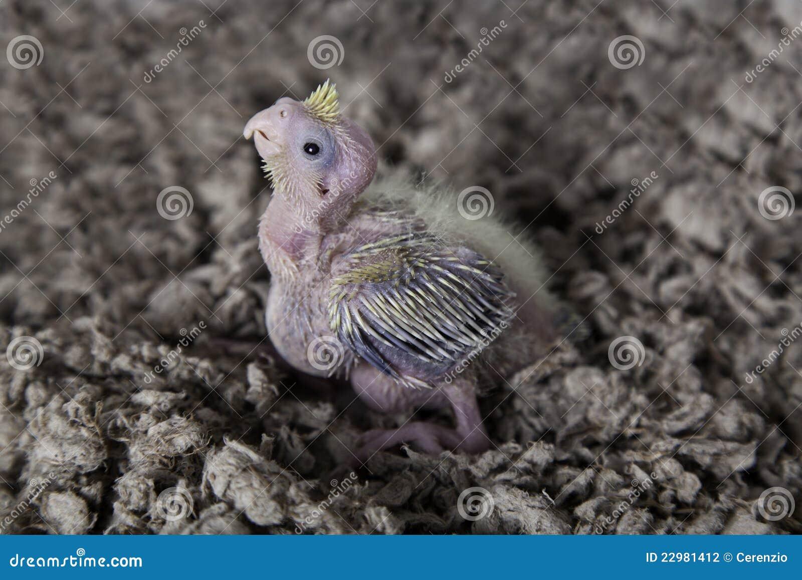 Cute baby cockatiel - photo#6