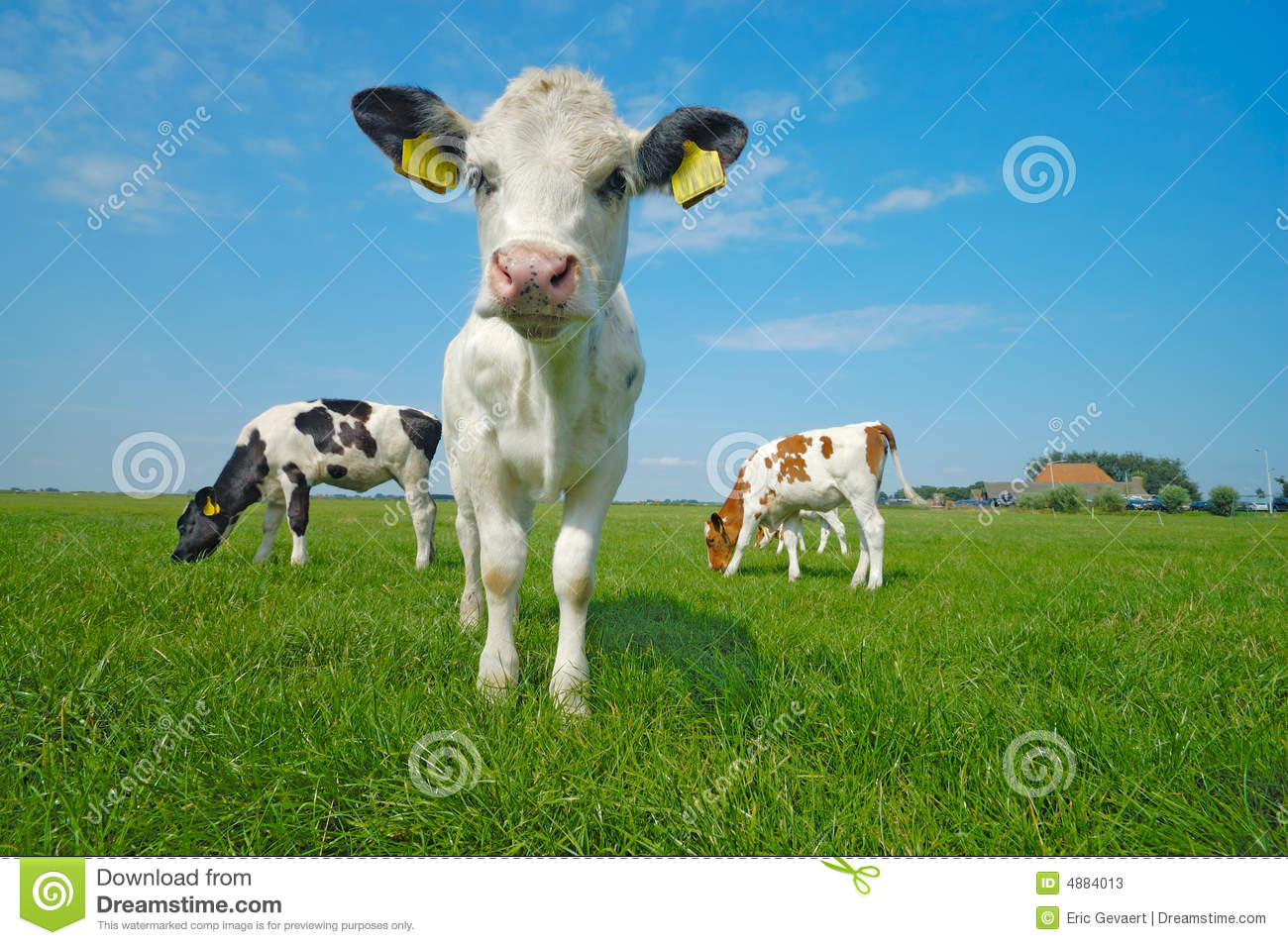 Cute Baby Cows Playing
