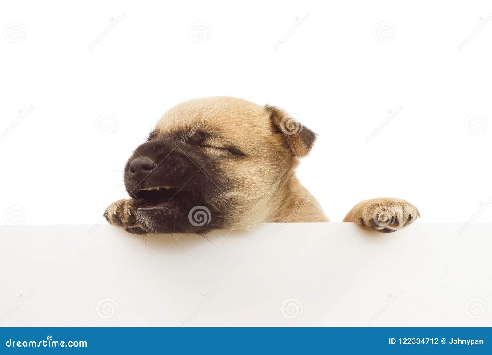 Cute Baby Dog Or Puppy Yawning Stock Photo Image Of Sleepy