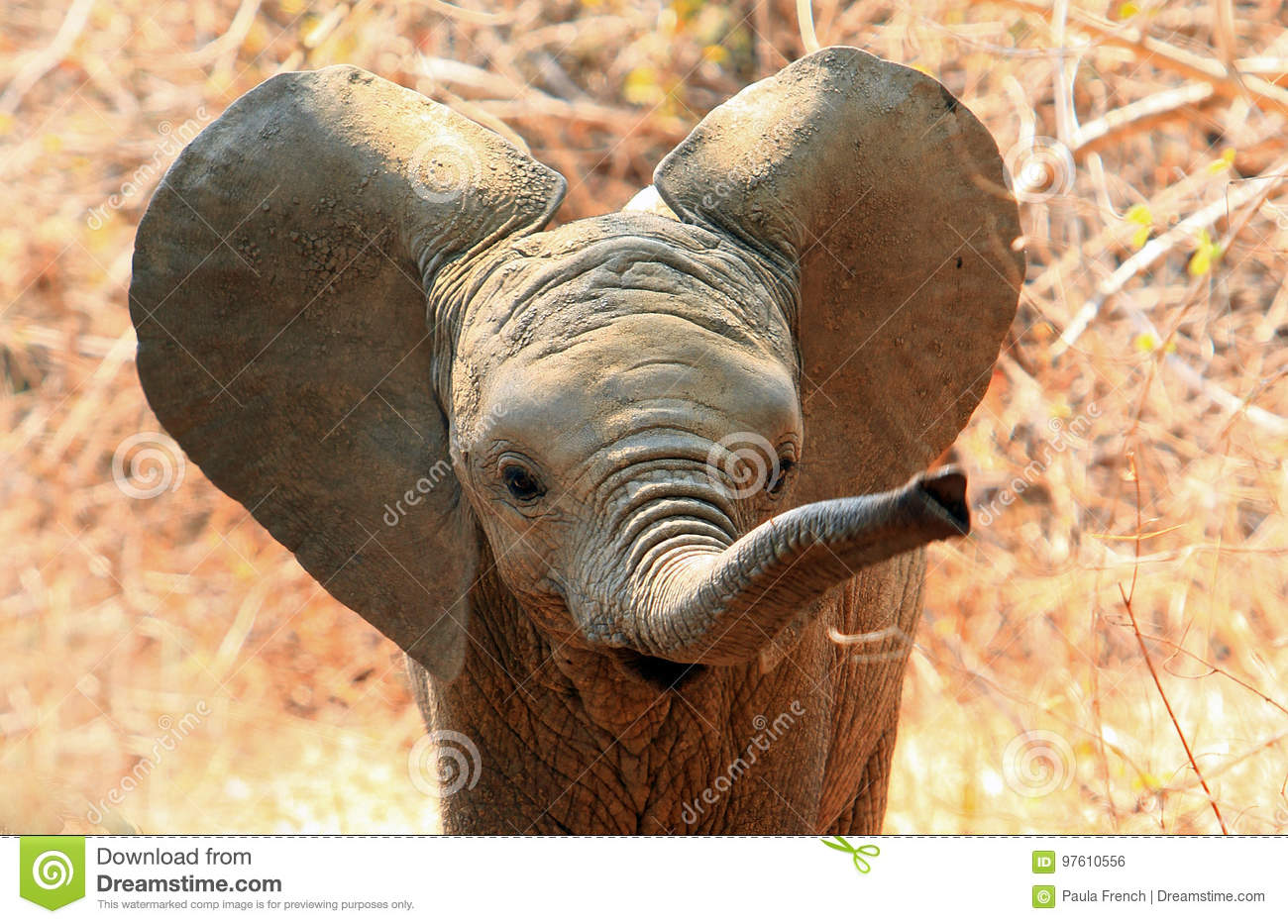 cute baby elephant with ears flapping and trunk extended stock photo