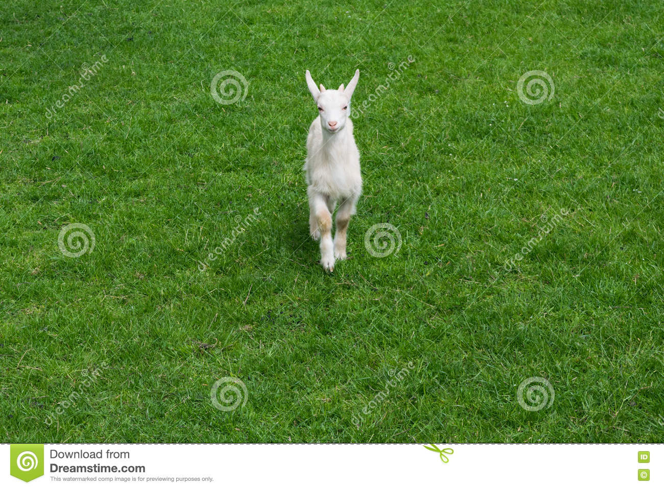 Cute baby goat goatling young green meadow grass front